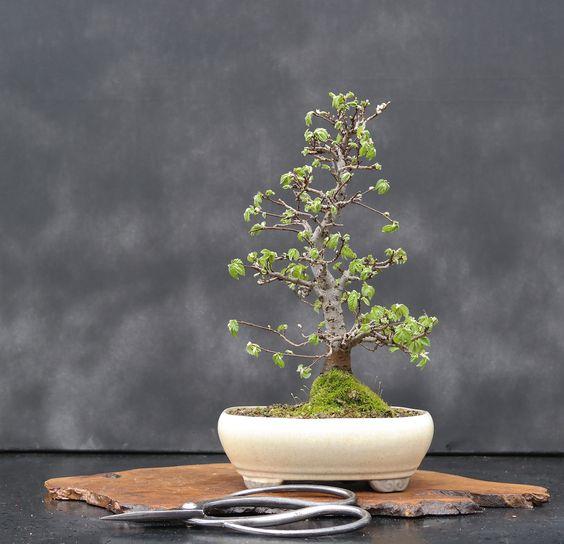 如何开始盆景树有许多方法可以开始一个盆景,所有结局都一样。实际上,你可以选择购买一个