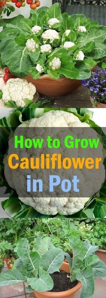 在本文中学习如何在容器中种植花椰菜。如果您了解其适当的要求和理想的生长条件,用容器培育花椰菜并不是很困难。