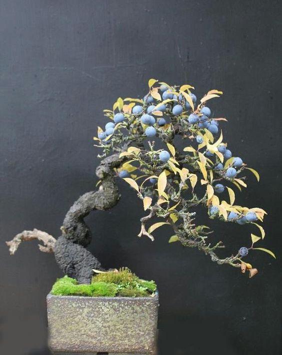 蓝莓盆景---天才。否则很难结果(主要是因为你不能保留野生动物)