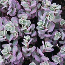 在您的种植床上添加多年生地面覆盖物可以带来有趣的颜色和纹理。