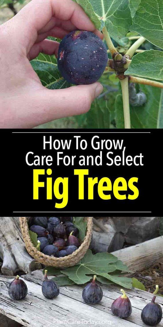 无花果树护理是您可以种植的最简单的果树之一,为您的位置,需求,种植,冬季防冻学习最佳品种[了解更多]