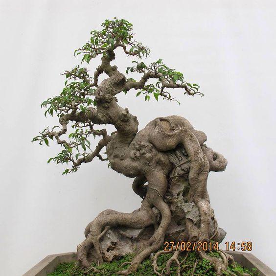 美丽的盆景......可能是中国榆树或榕树之一......根源于岩石。榕是最容易做到这种风格的。