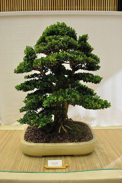 盆景在日本驻渥太华大使馆展出。由渥太华盆景协会成员组成的盆景。