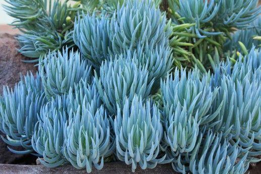 """蓝色粉笔是一种散播的多汁植物,具有独特的""""蓝色""""色调和有趣的质地。用作地面覆盖物,在盆中,作为边框并增加对比度。"""