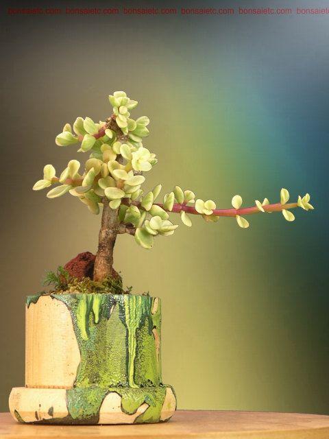 特征: 。充满异域风情的美丽家庭或办公室。 。容易,耐旱的盆景,可以在任何室内环境中生存。 。小叶具有杂色的椭圆形状,可缓解压力。 。坐在手工制作的手绘(带有溢出藻类图案)的木制礼品盒中。 。配以玉石盆景保养指导和一袋有机缓释盆景食品。描述:这种室内盆景植物在几个方面是独一无二的:它具有艺术造型以反映自然界中成熟的树木;它坐在我们专门手工制作的手绘木制礼品盒中;它可以在我们常规的室内环境中,在常规的植物光照的帮助下生存下来,并且非常小心。它有一个美丽的叶子形状与祖母绿颜色,改变精神和舒缓压力。它完成了岩石,新鲜的绿色苔藓和地面覆盖,以加强其详细的布局。盆景高约7英寸,种植者的颜色可能会有所不同。