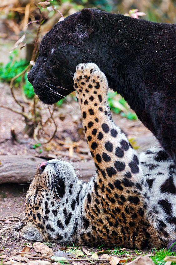 拿波与他的父亲马球一起玩。观看非常有趣!