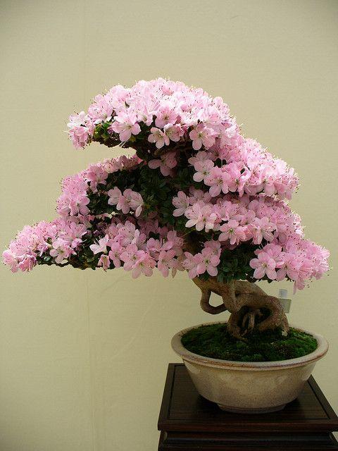 小月(Satsuki Azalea)盆景(BONSAI)在2005年花节日GIFU上