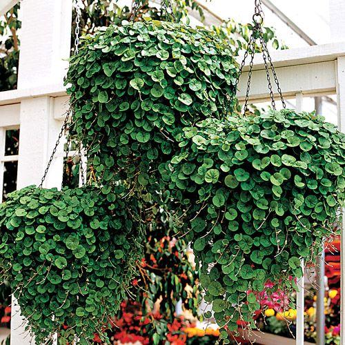 """随着瀑布系列植物的这个美丽的新增加,Dwhendra游轮已经更加正式一些了。翡翠瀑布不但没有松散的尾随习惯,而且非常整齐,有深绿色的叶子和密密麻麻的对称习惯,看起来就像是把它剪短了!如果你正在寻找一个""""去任何地方""""喜欢阳光的观叶植物,翡翠瀑布是你必须尝试的品种!这种Dichondra有力而且容易生长,拥有厚实,超柔软的深绿色的叶子(约一英寸宽),在非常分枝的植物上大量生长,不需要收缩。 Emerald Beauty将从您的篮子,窗户框或其他容器中流出约3英尺,但它也将形成一个很好的圆顶形状,可以美丽地填充可用空间!非常耐热和耐旱,翡翠瀑布即使萎,也很快恢复,并且整个季节看起来都很新鲜。尝试在超级瀑布背后的大容器中,或者在从Periwinkle到Sweet Pea的落后开花植物中尝试。翡翠瀑布在充满阳光和排水良好的土壤中茁壮成长。在冬季开始在室内种植种子(在最后预期霜冻前约6至8周),然后在春季天气变暖时开始播种。 Pkt是10颗种子。"""