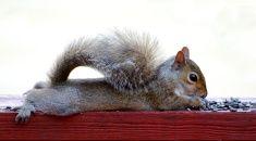 躺在甲板上的小松鼠吃向日葵种子的铁路