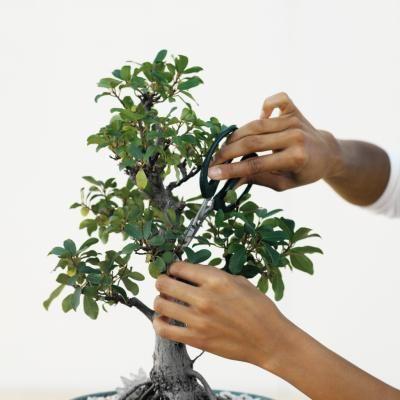 """盆景,""""浅盘种植""""的古老艺术,需要时间,耐心,专心和修剪。这种园艺形式以细致的微型形式反映了自然景观的形状和和谐。无花果(Ficus spp。)的某些品种可以制作出色的盆景,尤其是小叶子品种,如..."""