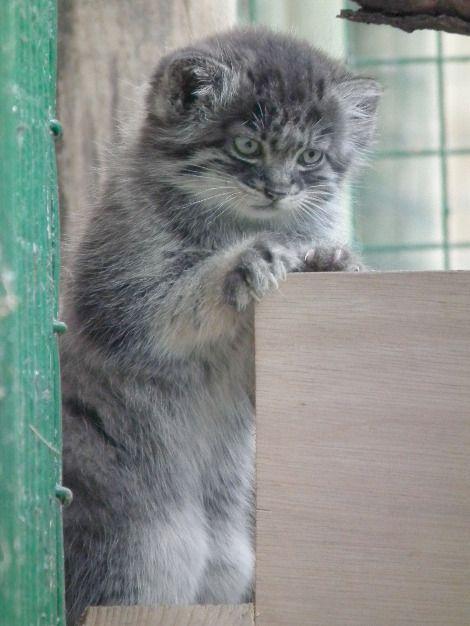 在过去的几周里,我们为您带来了野生动物遗产基金会Pallas'Cat kittens'进展中头号和二号的分期付款。现在七周龄,今天我们为你带来第三部分的三部曲......