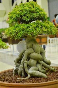 盆景树护理。近几十年来,盆景树越来越受欢迎,它们不再是陌生,外观小巧的植物,从外国进口的植物。