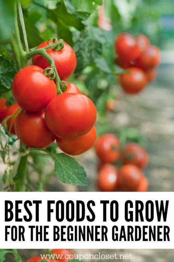 家庭园艺初学者。初学者在花园里种什么?园艺初学者。了解所有关于蔬菜园艺的初学者。这些是在菜园种植的简单食物。