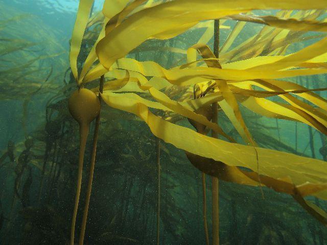 closeup of Nereocystis luetkeana seaweed fronds by Jackie Hildering