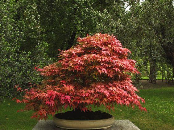 如何制作日本枫树盆景树。将日本枫树(Acer palmatum)变成盆景树是一个很棒的项目;他们是树木,特别适合盆栽种植。小枫树会像...一样长...