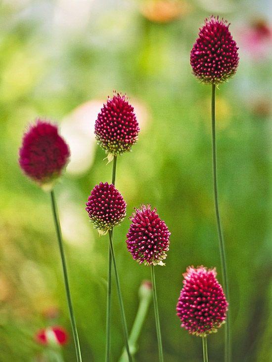 葱属植物是春季和夏季花园中最通用的灯泡。用这些顶级品种为您的景观增添趣味。