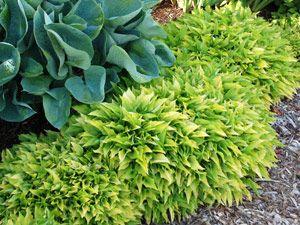 快速增长的地面覆盖物 玉簪柠檬石灰 - 速生地面玉簪配黄色树叶...