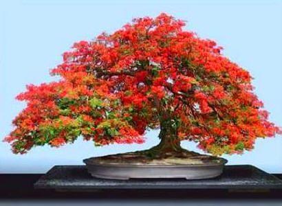 开花的盆景树|英国盆景树 - 开花的木瓜(木瓜属)盆景树