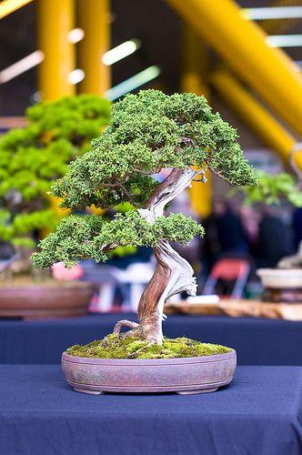中国杜松或萨金特的Juniper盆景树(Juniperus sargentii)。这棵小树是一棵中等大小的盆景,上面摆放着裸木金和沙里,用石灰硫漂白。土壤上装饰着一层青苔。这棵微型树被装入一个未上釉陶瓷鼓钵罐。照片拍摄于2010年9月下旬在南约克郡谢菲尔德的唐谷盆景巡回展。(不是我自己的一棵树)。相机:尼康D300镜头:尼康18-200MM F3.5-5.6G IF-ED AF-S VR DX我用我的照片作为我的绘画灵感,可以在www.stevegreaves.com上看到