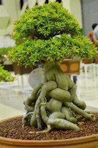 盆景树护理。盆景树在近几十年来越来越受欢迎,它们不再是从外国进口的奇怪的,看起来很小的植物。