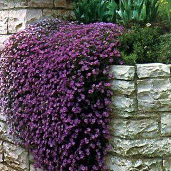 快速增长的地面覆盖物,紫色级联奥伯列。