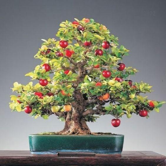 盆景迷你珍珠樱桃种子$ 3.27