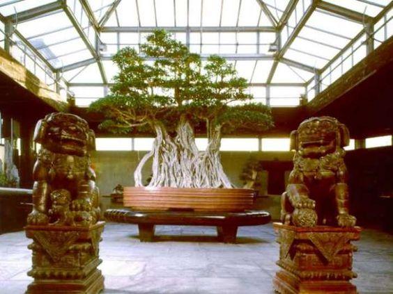 盆景树如果保存完好,可以长得很老 - 日本的一些树木已经有800多年了!