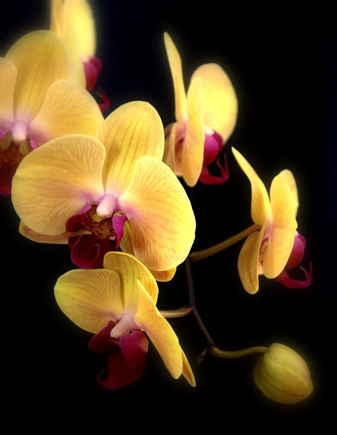 ~~Yellow Orchids by Nate A~~