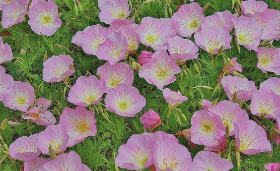 六个抗旱地面覆盖着艳丽的花朵。非常适合干燥,贫瘠的土壤地区。