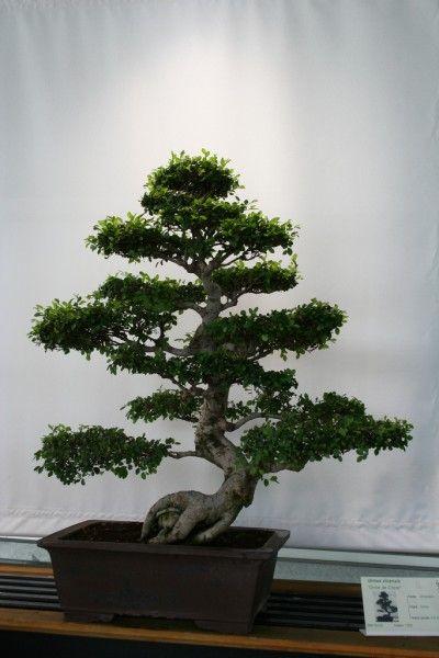 盆景不过是用特殊的容器种植的普通树木,并且经过培训后仍然很小。阅读这篇文章,了解更多关于各种盆景修剪方法以及如何启动盆景树。