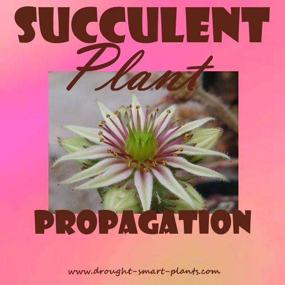 了解所有关于多肉植物繁殖以及如何通过插条,幼仔和种子制作更多我们喜爱的植物......