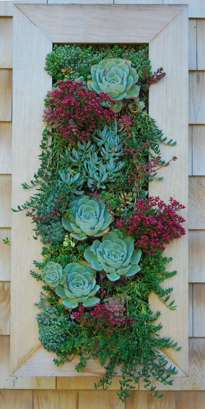 The vertical garden is still looking sweet. The Crassula schmidtii has been in bloom for weeks, and the Echeveria 'Atlantis' continues to wa...