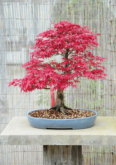 """此图片仅通过盖蒂图片社提供许可:(只需点击右下方的黑白""""g""""徽标)。日本枫树(Acer palmatum""""Deshojo""""),一种淡蓝色陶瓷盆景盆中的红叶盆景树。在商业盆景苗圃拍摄的照片在4月初。相机:尼康D300镜头:尼康18-200MM F3.5-5.6G IF-ED AF-S VR DX我用我的照片作为我绘画的灵感和参考,可以在www.stevegreaves.com上看到"""