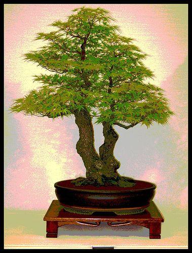 """如何开始盆景树。盆栽树木的古老艺术已有一千多年的历史。很多人都没有意识到简单的盆栽植物实际上是盆景的意思,""""盆栽植物""""。然而有一个大......"""
