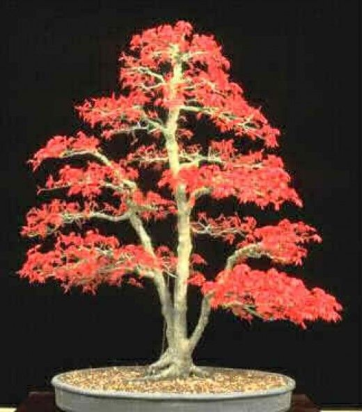 盆景是一种日本艺术形式,使用容器中种植的微型树木。盆景这个词通常用英语作为盆中微型树的总称。盆景不是用于生产食品,医药或用于生产......