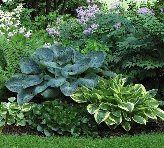 Hostas是美丽的植物园林设计和庭院美化
