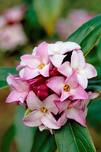 在Jane Perrone挑选的10种最佳冬季开花植物中,为阴沉的1月花园增添一抹亮色