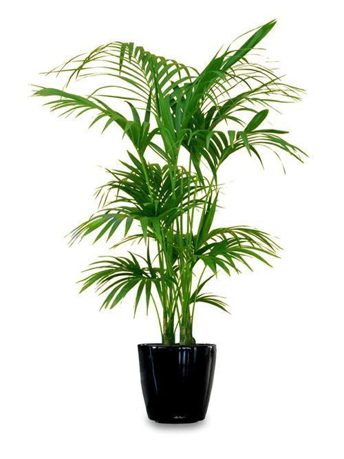 为您的家庭或办公室看到18种最好的大型室内植物。高大的室内植物看起来很迷人,并创造了扩大内部的错觉。