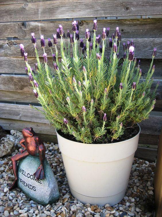 圆石园植物概况:德克萨斯州的开花植物下面列出了我们目前在蝴蝶园中种植的开花植物。其中许多人是德克萨斯原住民,...