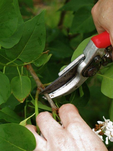 学习如何通过从现有淡紫色灌木丛中取根切割并在景观中创造新灌木来节省资金。