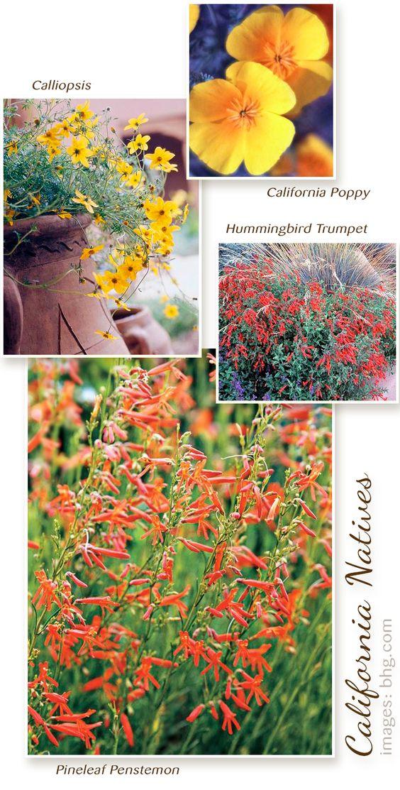 这些坚韧,美丽的植物可以轻松地在炎热,干燥的条件下。它们是该地区园丁中最好的易护理植物之一。