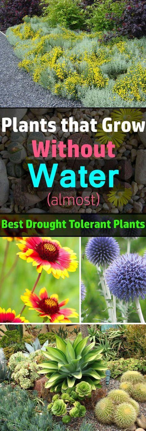 所有植物都需要水才能生存。然而,就像需要更多水的植物一样,有缺水的植物。它们是最好的耐旱植物,可以长时间无水生活。