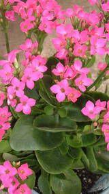 了解如何种植开花和非开花的长寿花植物,以及浇水,繁殖和光照的技巧。