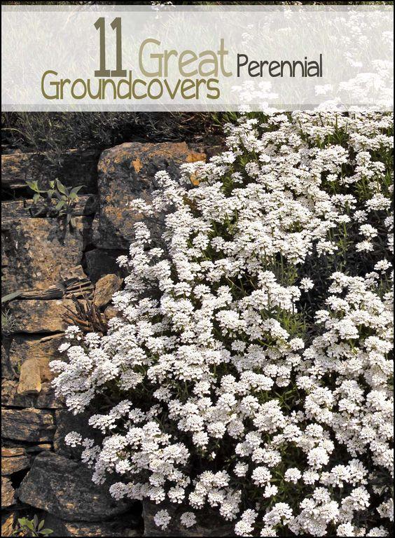 为您的院子和景观的顶级多年生地被植物11。