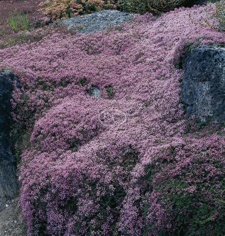 这种匍匐植物易于从蔓延的百里香种子中生长,也可用于步行路面之间的铺路石或砖块之间。当你沿着百里香之母的小路漫步时,它有一种高度芬芳的香味,它会升起来迎接你。这是一个耐寒的多年生植物,处理夏季炎热和冬季寒冷。一旦建立就可以无线