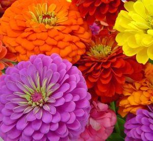 你喜欢在你的花园里收集它们的百日菊花吗?如果是的话,那么你会发现我的帖子很有趣,因为我已经想出了有关收集百日草花种子的提示。实际…