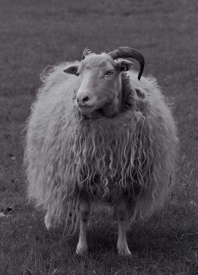 Sheep by Anna