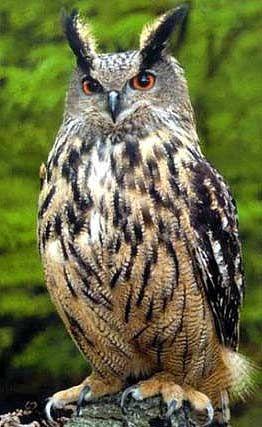 据一项新的研究显示,世界上最大的猫头鹰几对鹰猫现在在英国野外繁殖。