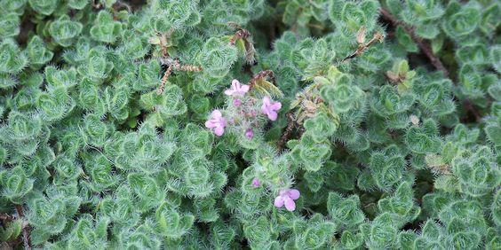 如果您想用地面覆盖植物替换部分或全部草坪,或者填充边界或阴影斑点,这些可食用的品种也可以作为美味的添加物。