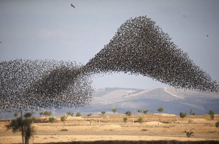 A murmuration of migrating starlings is seen across the sky near the village of Beit Kama in southern Israel. REUTERS/Ronen Zvulun